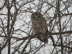 Barred Owl, Robert Moses State Park, NY, 2/21/2017