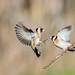 Chardonneret élégant Carduelis carduelis - European Goldfinch by Julien Ruiz
