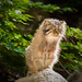 Otocolobus manul pallas's cat_6 by Micael Carlsson
