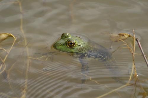 American Bullfrog,  Lithobates catesbeianus