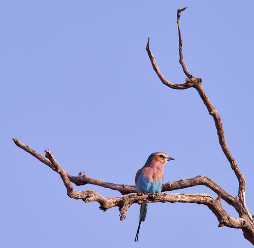 Lilac Breasted Roller | by drmarkf