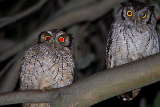 Megascops choliba-Currucutú Común-Tropical Screech-owl | by @segida22
