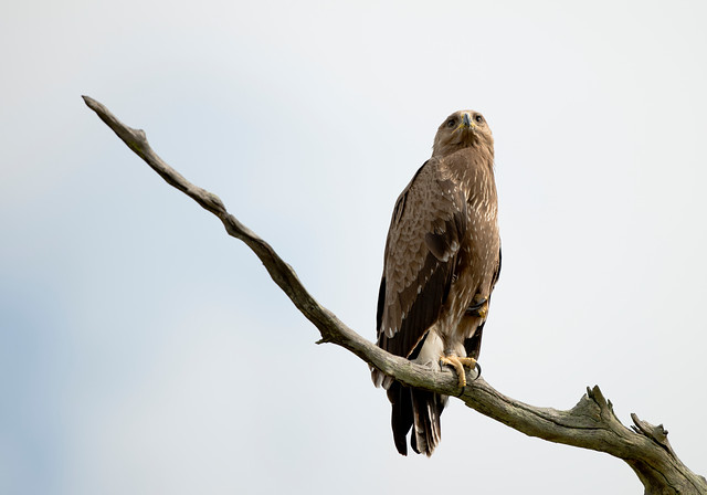 Lesser Spotted Eagle, Aquila pomarina, (ringed), Hwange National Park, Zimbabwe, Dec 12 (82)