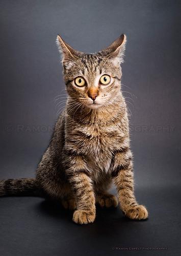 Cat portrait, studio shot. | by Ramón Espelt