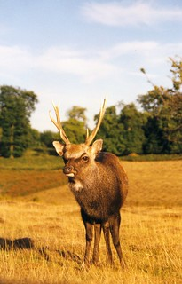 Sika Stag - J.Langbein | by Langbein Wildlife