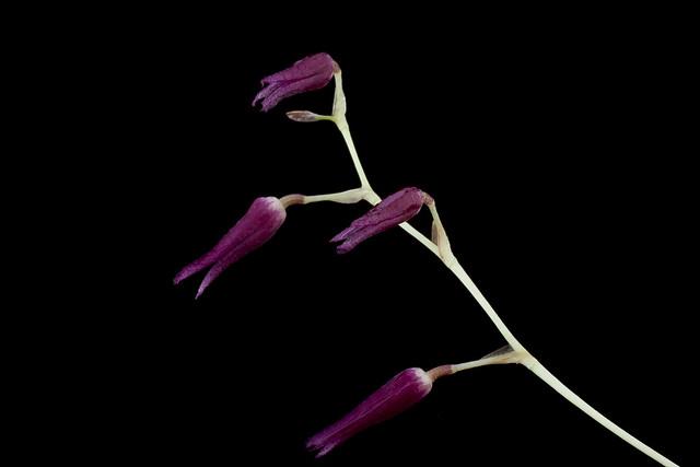 Dracontia cobanensis