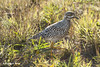 Spotted Thick-knee, Nxai Pan National Park, Botswana by Randall Knox