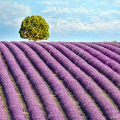 The Lavender Tree