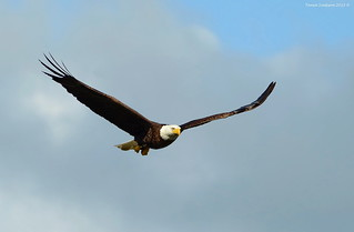 Bald Eagle (Haliaeetus leucocephalus) | by Photography Through Tania's Eyes