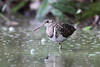 Greater Painted-snipe - Explored! by myrontay