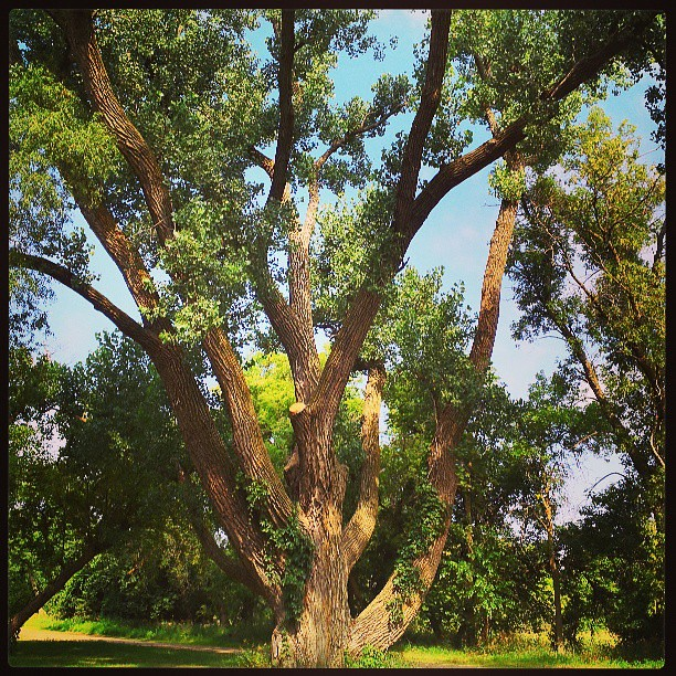 #cottonwood #trees # Flandreau #southdakota #geocaching
