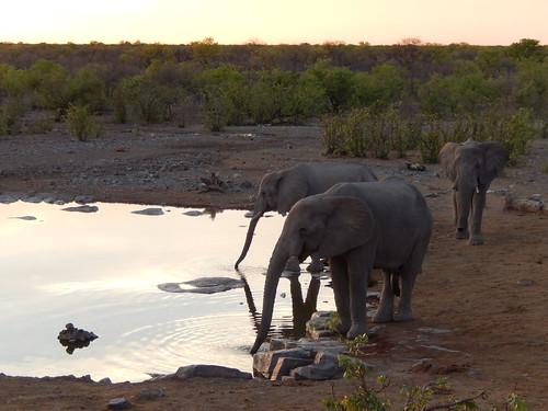 Etosha NP - olifanten drinken