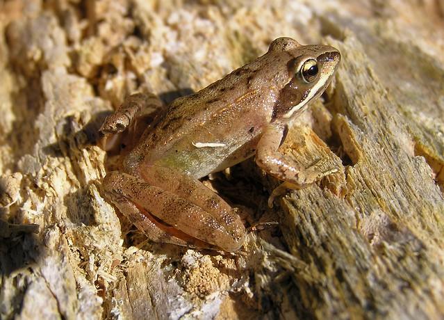 Rana dalmatina - Agile Frog - Grenouille agile ou Grenouille pisseuse - 29/08/11