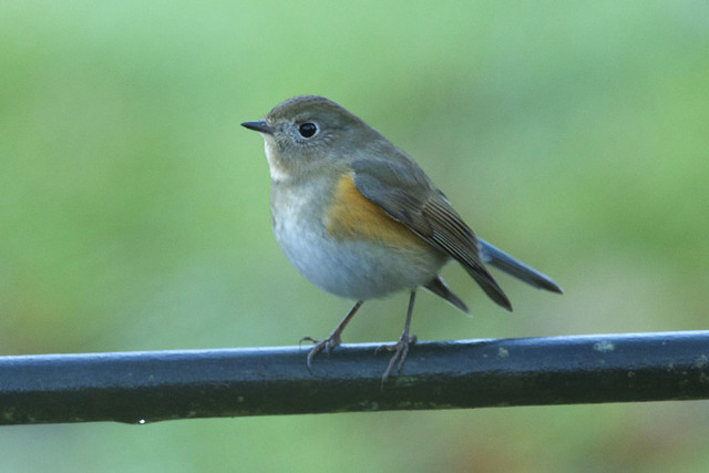 Tarsiger cyanurus - Red-flanked Bluetail