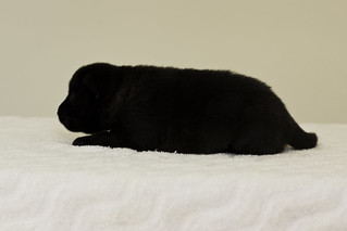Ayui-Litter4-Day20-Puppy2-Female-d | by brada1878
