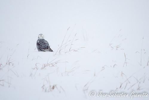 canada bird wildlife birding québec ornithology birdwatching oiseau snowyowl faune mirabel ornithologie harfangdesneiges
