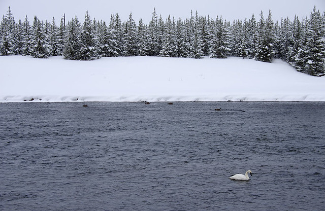 Trumpeter swan in the Madison River, Yellowstone National Park, Wyoming