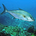 Greater Amberjack - Photo (c) John Turnbull, some rights reserved (CC BY-NC-SA)