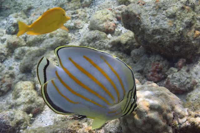 yellow tang: Zebrasoma flavescens, with ornate butterflyfish: Chaetodon ornatissimus
