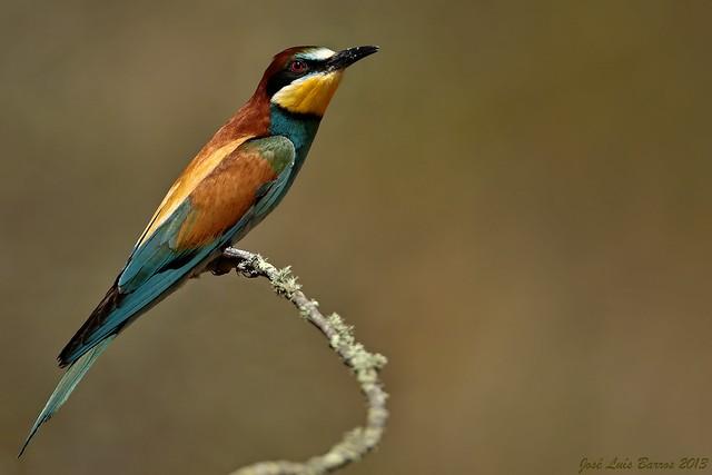Abelharuco | Merops apiaster | Bee-eater