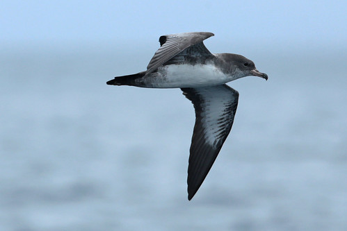 Pink-footed Shearwater | by Aaron Maizlish