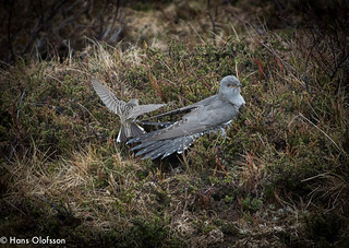 Invasion of privacy - Cuckoo and Meadow Pipit