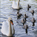 Wells Swans: 7 new cygnets - May 2013