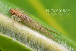 Crab Spider (Tmarus sp.) - DSC_6402