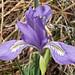 Blue Flag Wild Iris