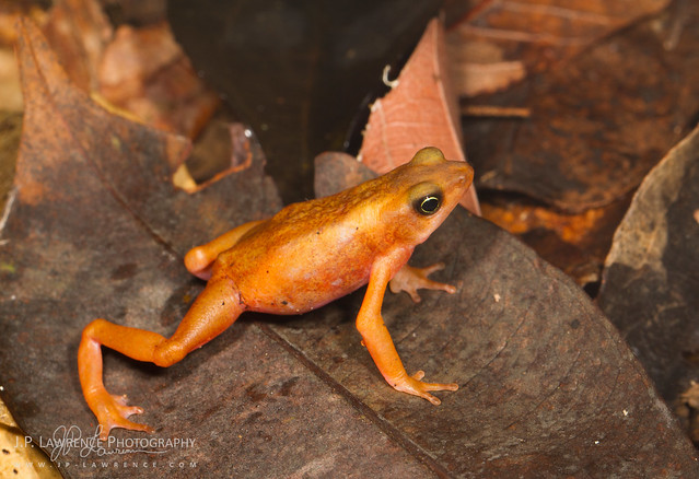 Cayenne Stub-Footed Toad