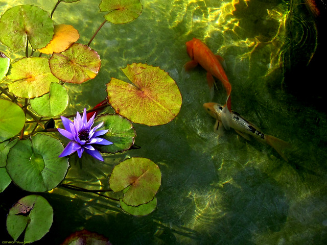 Water Lilies and Koi, Getty Villa by Rossano