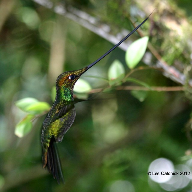 Sword-billed hummingbird in flight (the end of this trip!)