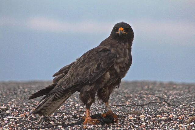 Galapagos Hawk,  Island