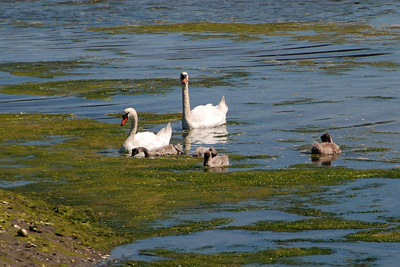 Family of Swans in Ganges Harbour, Ganges, Saltspring Island, Gulf Islands, Georgia Strait, British Columbia