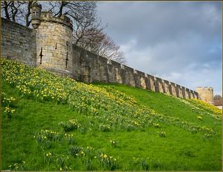 York Walls And Daffodils