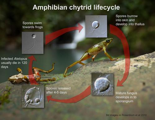 Amphibian chytrid lifecycle. Batrachochytrium dendrobatidis. Panama. | by brian.gratwicke