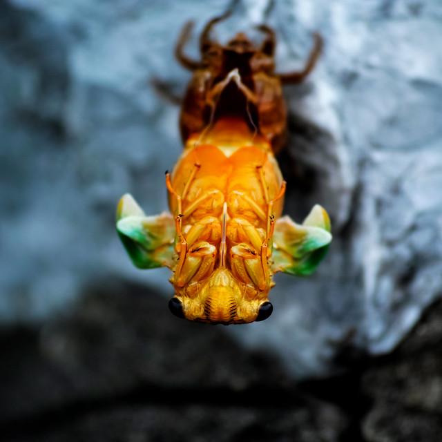 emergence-of-cicada_300615_2