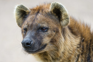 Portrait of a spotted hyena | by Tambako the Jaguar