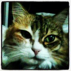 #tico #ragdoll #ragdollcat #ragdollsofinstagram #cat #cats #catsofinstagram