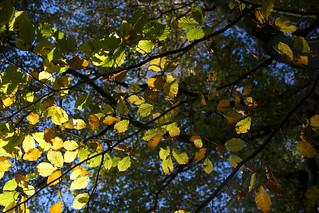 Beech leaves in the autumn at Sharphill | by Guy R