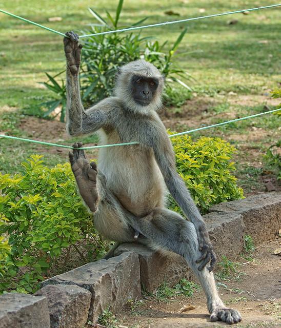 Langur monkey relaxing