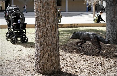 Lobo Stalks the Baby Stroller
