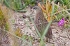 Brown Quail - Synoicus ypsilophorus by arthurgrosset