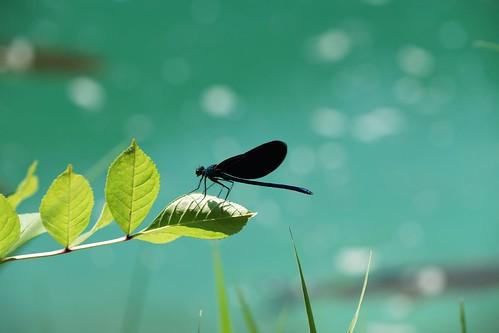 Black dragonfly, Plitvice | by Joe Lewit