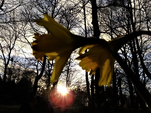 daffodils sunset silhouette woods meanwood leeds west yorkshire