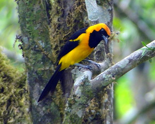 Gonzalito Real [Orange-crowned Oriole] (Icterus auricapillus) | by barloventomagico