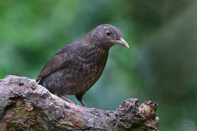 Female Blackbird ♀