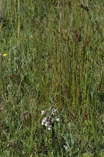 Junco baltici-Schoenetum nigricantis trifolietosum | by Bas Kers (NL)