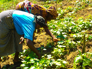 Kenyan women farmers in the field | by IFPRI