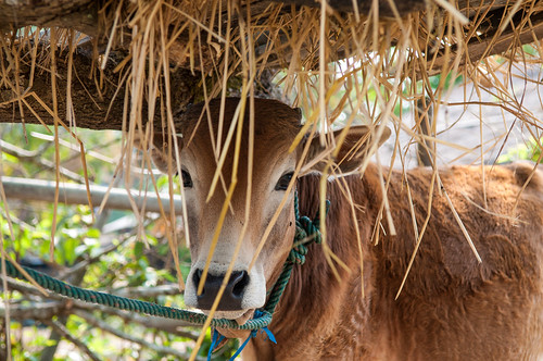 Cattle feeding during the dry season, Xiang khouang Province, Laos.   by CIAT International Center for Tropical Agriculture